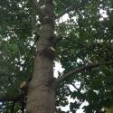 mature-tree-trimming
